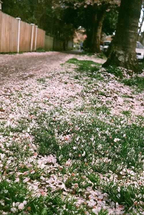 blossom, spring, sidewalk